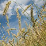 cereales-de-invierno